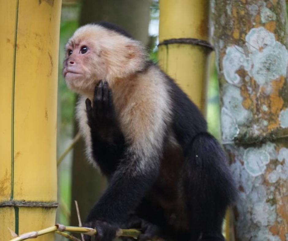 Capuchin-Moneys-Everywhere